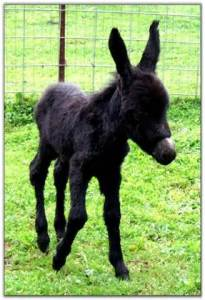 blackdonkey