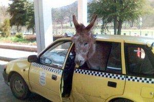 funny-donkey-in-car